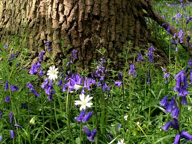 bluebell tree