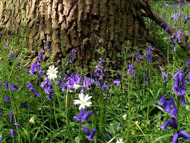 bluebell tree