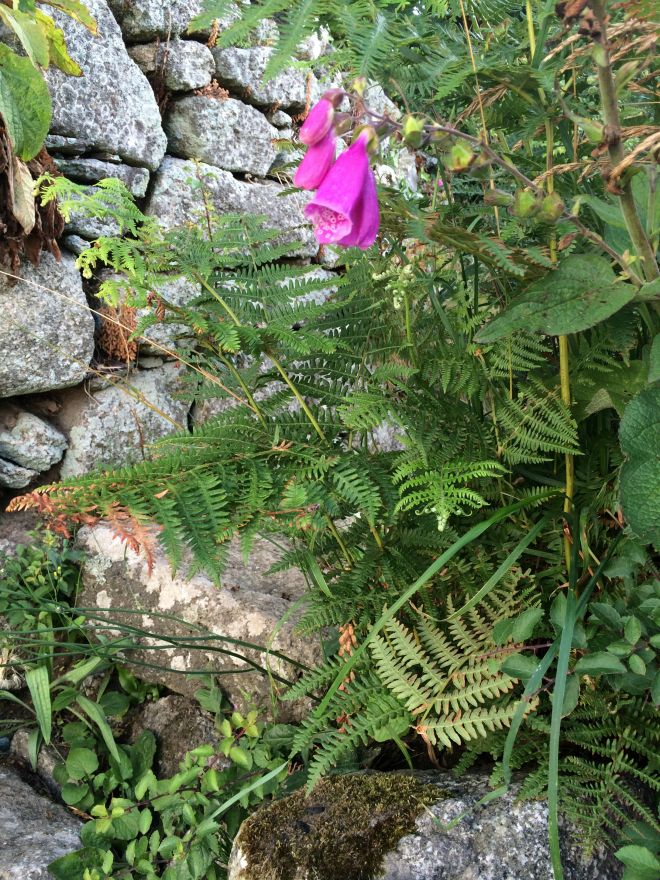 Foxgloves and ferns