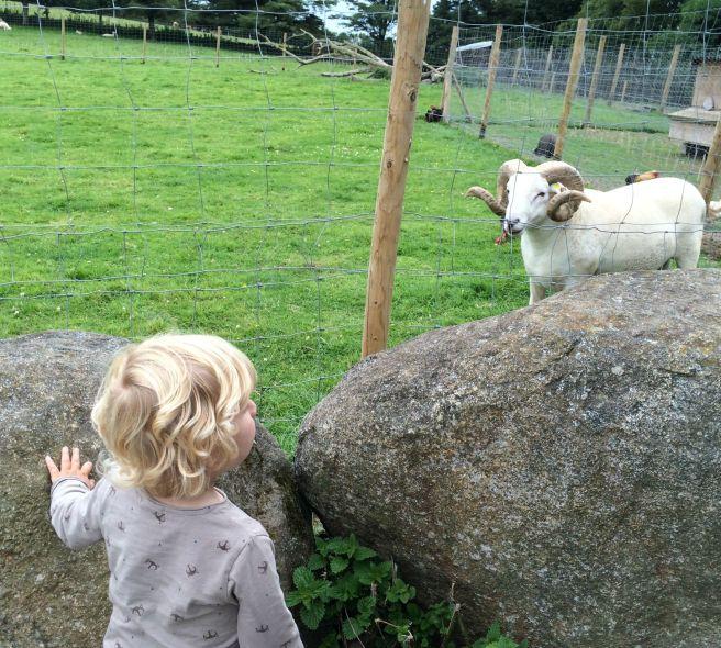 Joe and sheep