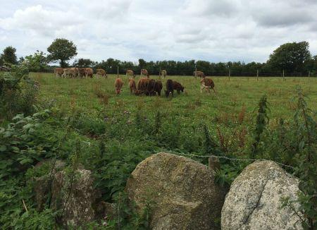 Roskillys cows
